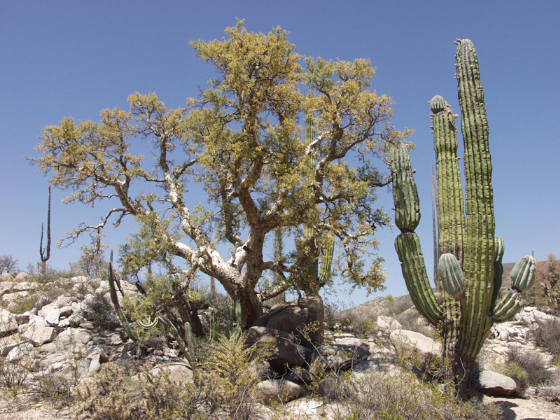 top 9 plants commonly found in deserts - listovative