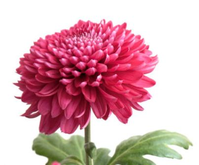 Top 12 most beautiful flowers in the world listovative carolus linnaeus father of modern taxonomy gave this beautiful flower its name which means golden flower in greek chrys means golden and anthemon mightylinksfo
