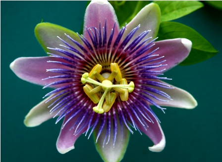 Top 12 most beautiful flowers in the world listovative passion flower is a perennial vine with over 50 species and it belongs to the passifloraceae family this purple blue and white flower consists of ten mightylinksfo