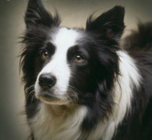 A-Beautiful-Border-Collie-for-Berni-yorkshire_rose-18778107-413-379