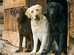 three-different-colored-Labrador-Retriever-Dog-Pictures