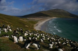 Falkland_Islands_Penguins_82