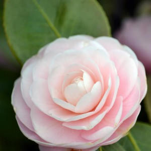 light-pink-camellia-flower-patricia-s