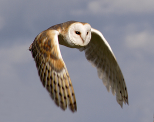 Barn_Owl_in_flight