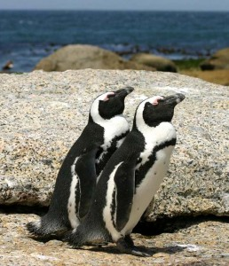 African_penguins_Boulder_Bay_1