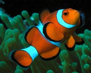Clown fish1