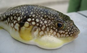 Puffer-fish-or-fugu
