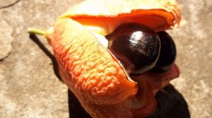 ackee-weird-fruit.jpg.638x0_q80_crop-smart