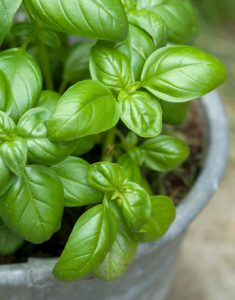 basil-leaves-de