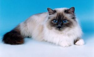 birman-cat-facts-for-kids