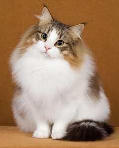 cat-breeds-norwegian-forest-ma24_272_hd