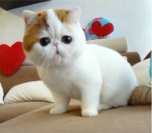 exotic-shorthair-kittens-for-adoption