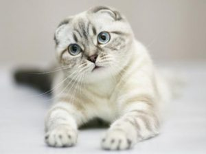 scottish-fold-cat-photo-5