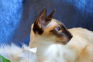 Close-Up Of Siamese Cat Looking Away
