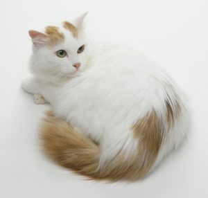 Turkish Van Cat, lying down, looking over shoulder