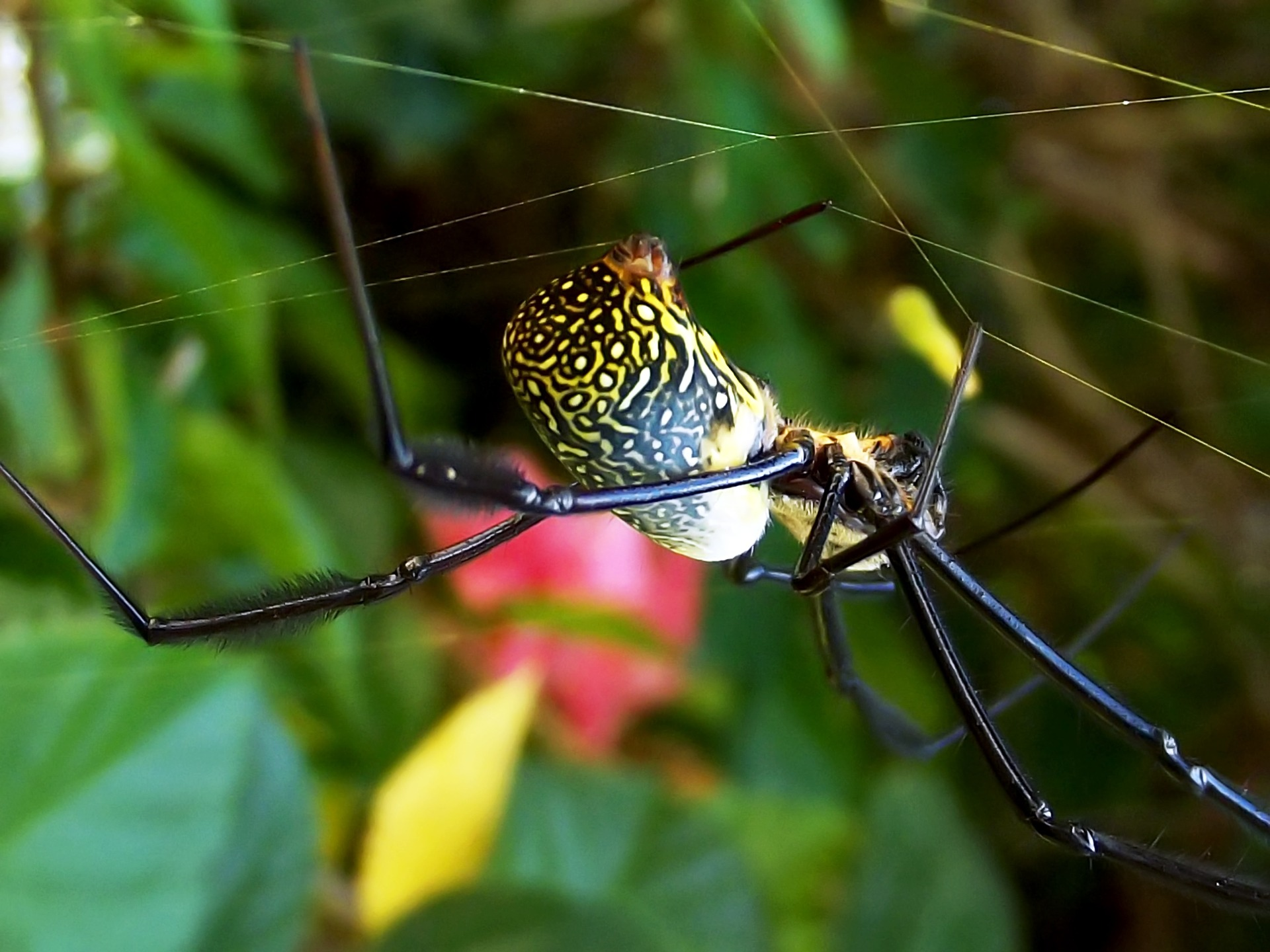 Top 10 Facts about Banana or Golden Orb Spiders
